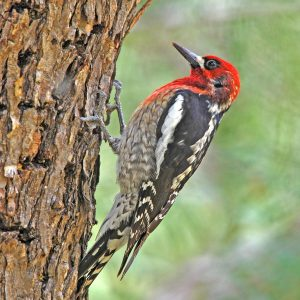 Red-Breasted Sapsucker