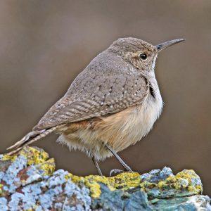 Central Coast Land Birds - Morro Bay Winter Bird Festival
