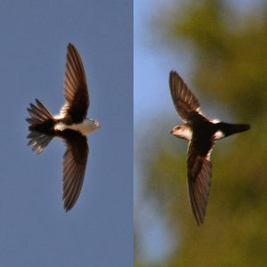White-Throated Swift